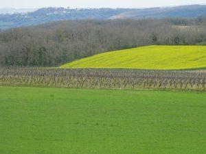 vigne et colza au printemps